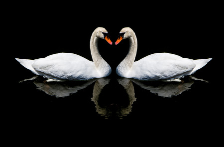 black feathered: White swans in love sign .