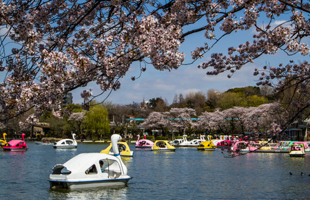 hanami: People  join the swan boat in  Hanami festival at Ueno park Hanami festival will start when cherry blossom full bloom.