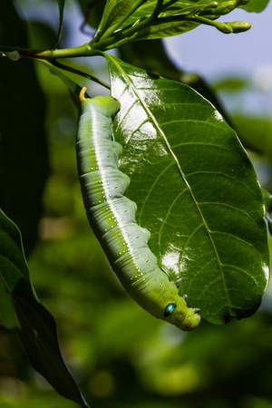 tomato caterpillar: Green worm on the tree leave.
