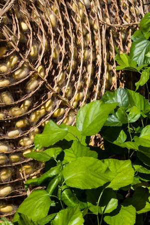 sericulture: Sericulture or silk production background.