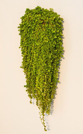 ant: Ant plant or  Dischidia nummularia Variegata hanging on the wall.