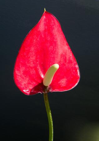 spadix: Red spadix close up detail.