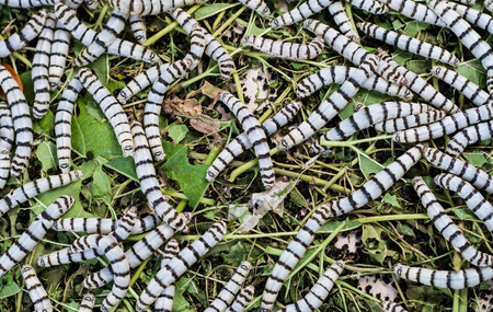 sericulture: Silkworms eating mulberry leaf in the tray.