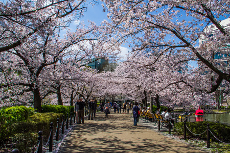 hanami: TOKYO,JAPAN-APRIL 2: People come to join  Hanami festival at Ueno park in Tokyo,Japan on April 2,2015.Hanami festival will start when cherry blossom full bloom.