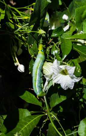 tomato caterpillar: Green worm hanging on the tree leave.