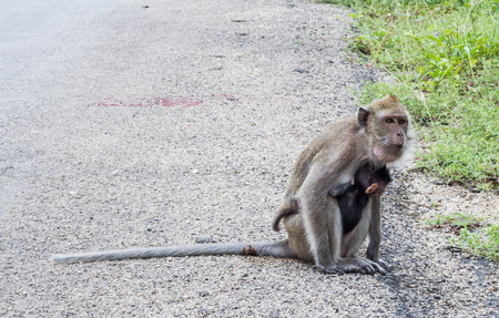 playful behaviour: Monkey holding her baby beside the road. Stock Photo