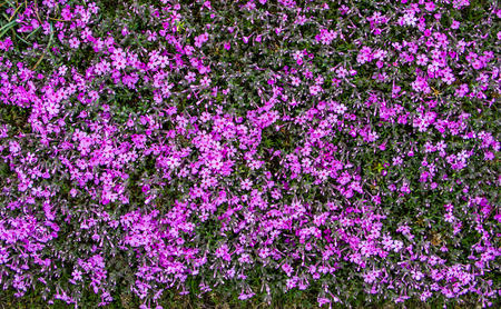 florecitas: Musgo rosa cerca de fondo.