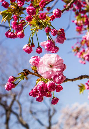 flower leaf: Pink cherry blossom   with blue sky background.
