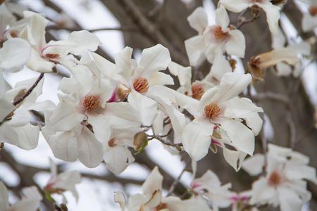 blossom tree: White cherry blossom close up background.