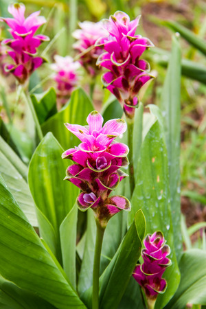 curcuma: Pink curcuma alismatifolia or siam tulip in the garden. Stock Photo