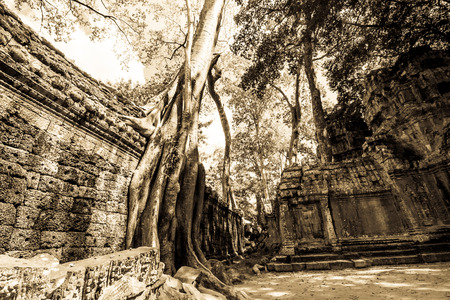 ta: Giant tree covering the wall of Ta Prohm temple . Stock Photo