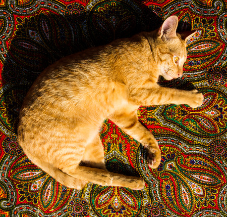 lay down: Golden cat lay down on Indian fabric.