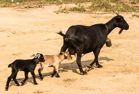 head to head: Goat family walking in the field.