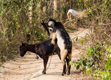 Goats breeding in the farm.