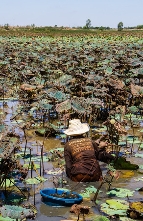 MAHASARAKHAM,THAILAND-JUNE 14 : Senior woman finding snails in the pond on June 14,2016 .Snails is local food in Thailand.