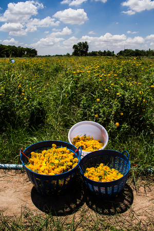 Marigolds in the basket after harvesting. Stock Photo