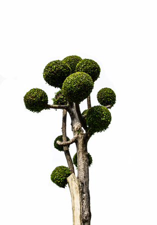 field maple: Tooth brush tree or Streblus Asper isolated background.