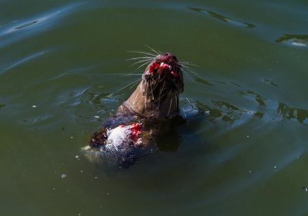 aonyx: Otter eating fish at Marina Bay,Singapore.