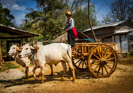 INLE LAKE, MYANMAR -MARCH 11,2017: A farmer on a bullock cart is visiting a market at the shore of Inle lake in Shan,Myanmar.