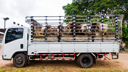 Truck carring cows from cow market.