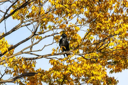 Crow sitting on a branch of an autumn tree with yellow leaves. Stok Fotoğraf