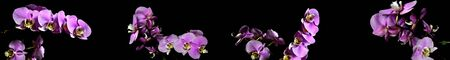 A branch of pink orchid panorama on a black background.