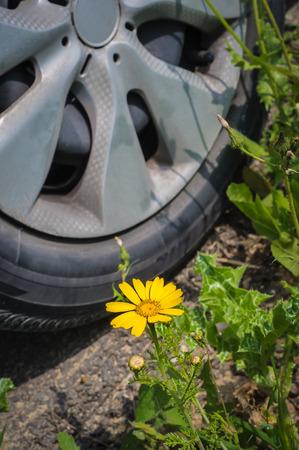 coronarium: Chrysanthemum coronarium, single yellow flower on the green grass