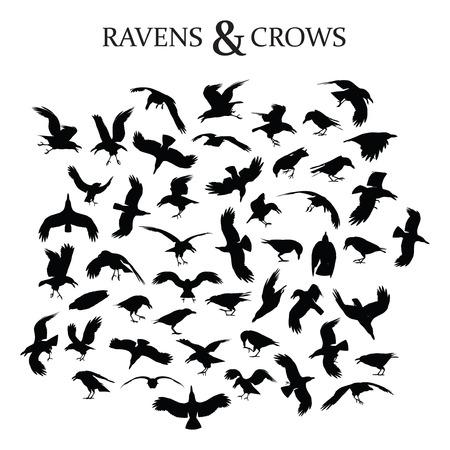 corvo imperiale: Set di 49 corvi neri e corvi in ??diverse pose e prospettive Vettoriali