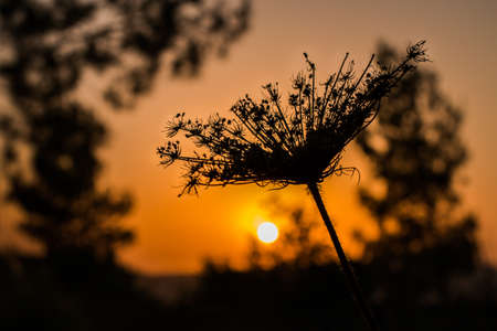 thorn: Thorn silhouetted against sunset