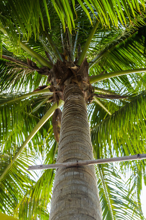 To demonstrate Horizontal coconut tree Stock Photo - 26006136