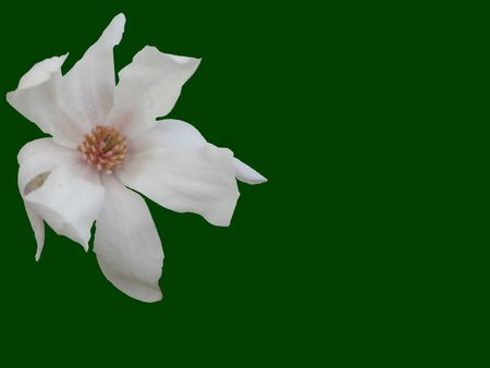a dogwood flower cut on a green background photo