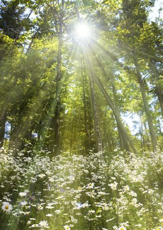 Dreamy daisy covered clearing, with light spilling through trees.