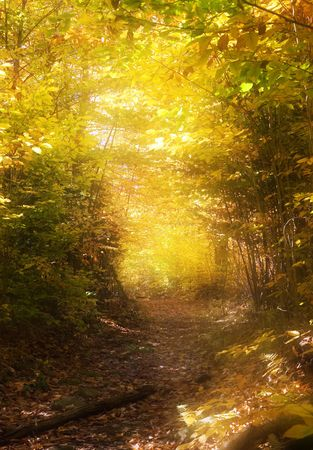 clearing the path: Beautifully lit golden path through a forest in the fall