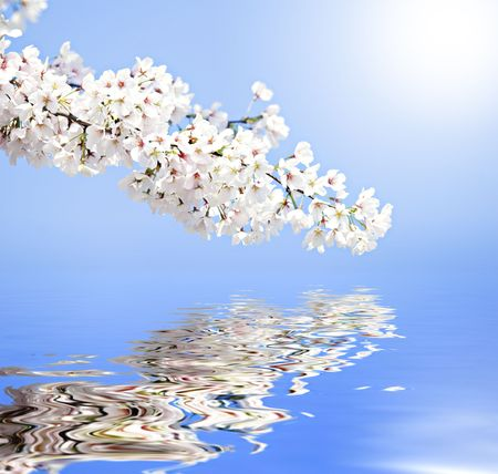 Delicate Yoshino cherry flowers reflected in clear water Stock Photo