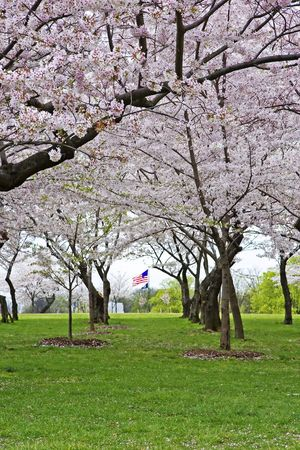 American flag seen through a canopy of blossoming cherry trees in Washington, DC