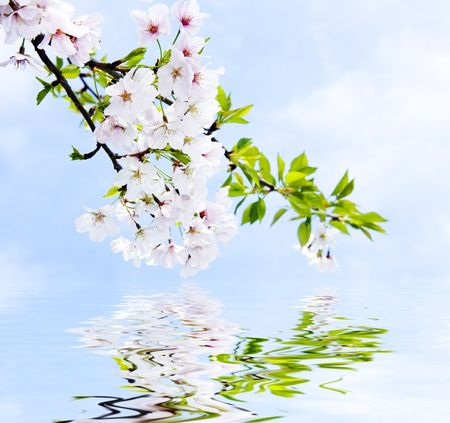 Delicate Yoshino cherry flowers reflected in clear water 免版税图像