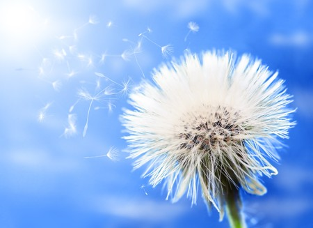 Close-up of beautiful fluffy dandelion