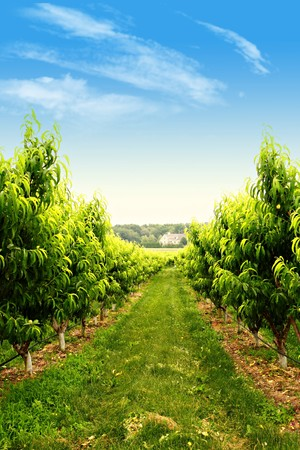 Rows of fruit trees in a spring orchard 免版税图像