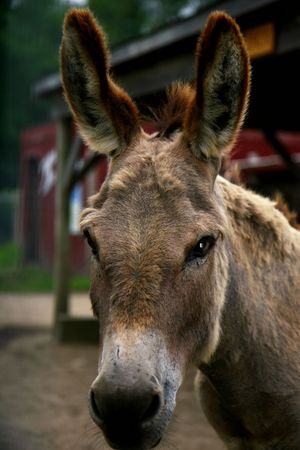 Beautiful donkey looking at the viewer 免版税图像