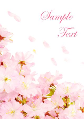 Delicate pink cherry blossoms on white, with copy space and easily removable sample text 免版税图像 - 4753251