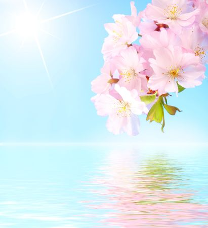 Pink cherry blossom branch reflected in  water