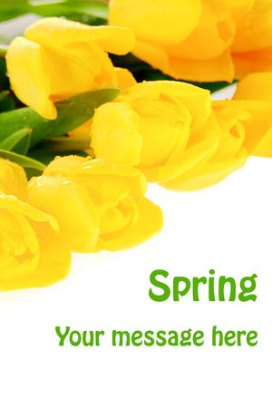 Yellow tulips covered in raindrops on a white background, with copy space and easily removable sample text