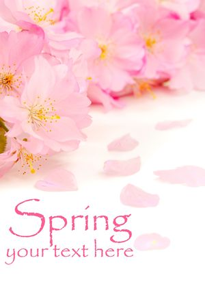 Delicate pink cherry blossoms on white, with copy space and easily removable sample text