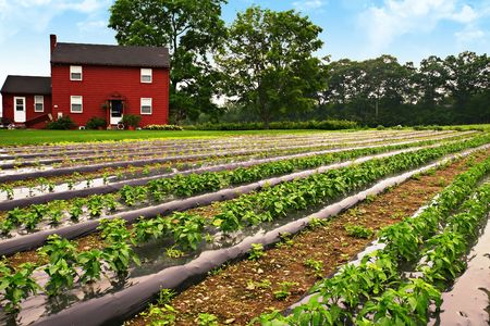 Rows of young pepper plants on a farm