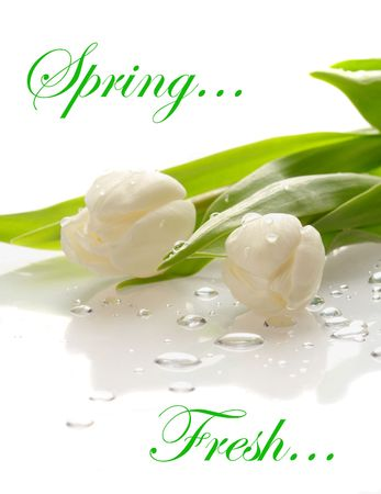 White fresh tulips with water drops on a  reflecting surface.  Copyspace and easily removable sample text 免版税图像