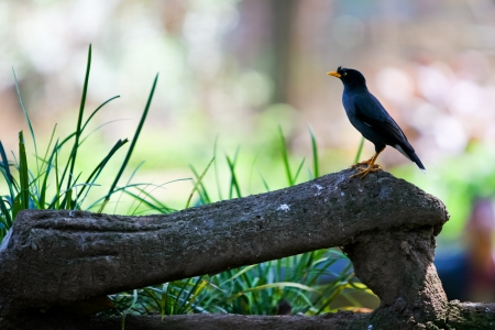 vented: Great Myna bird (Acridotheres grandis), also known as White-vented Myna, in captivity.