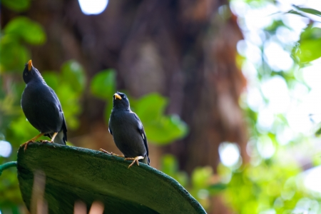 vented: Great Myna bird  Acridotheres grandis , also known as White-vented Myna, in captivity