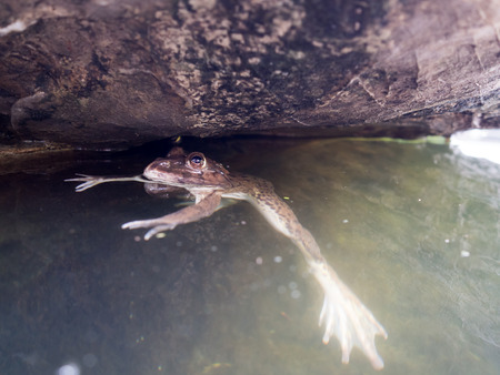 callidryas: oseup of Asian River frog is floating on the water. Stock Photo