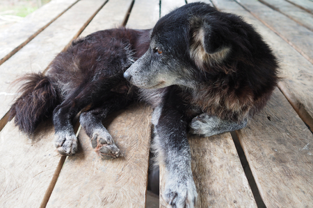 mangy: Mangy dog laying on wooden table, poor dog, black dog Stock Photo