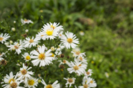 Blurred of white flowers in the garden for background wallpaper